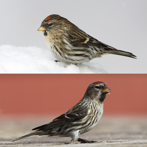 What are the differences between an Icelandic Redpoll and a Greenland Redpoll?