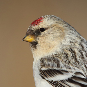 Redpolls, Redpolls and more Redpolls