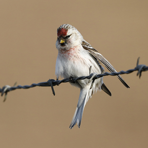 Coues's Arctic Redpoll, Arnhem, February 2018