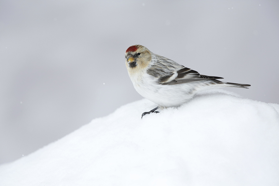 I don't know exactly why, but for me Arctic birds are wonderful creations. In March 2017, I traveled to Greenland to photograph redpolls...