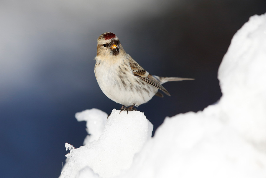 In March, 2015 I visited Kaamanen, Finland for a week. Main target was to photograph redpolls...