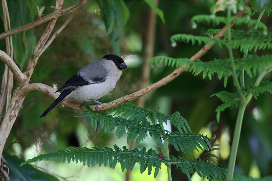 The gems of the Portugese Azores are the endemic Azores Bullfinches...